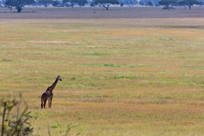 large_Giraffe_10-301.jpg