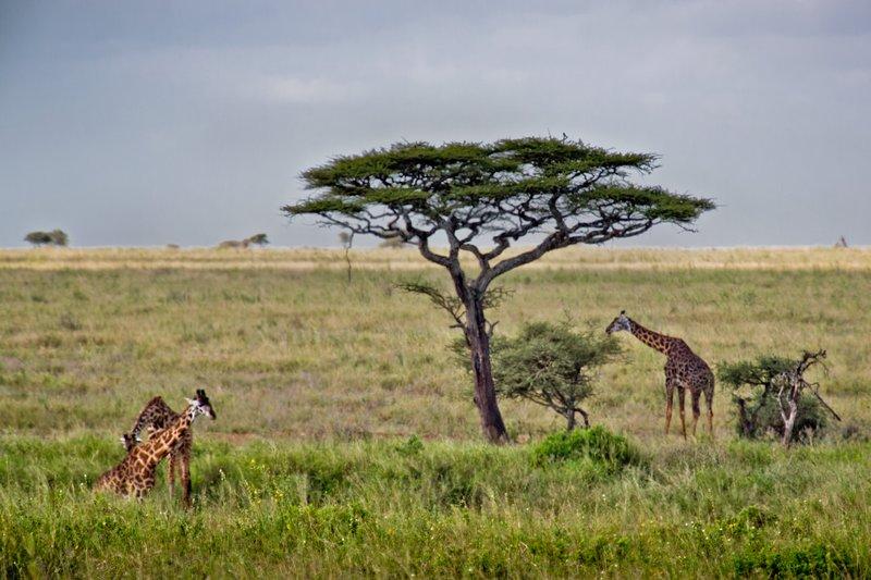 large_Giraffe_10-402.jpg