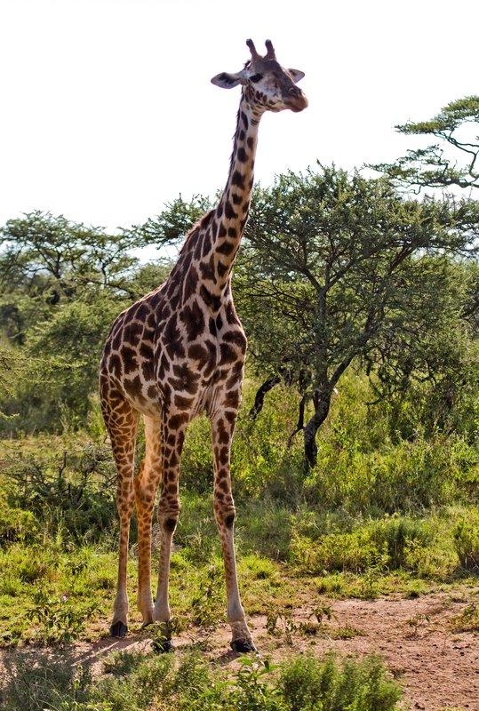 large_Giraffe_11-11.jpg
