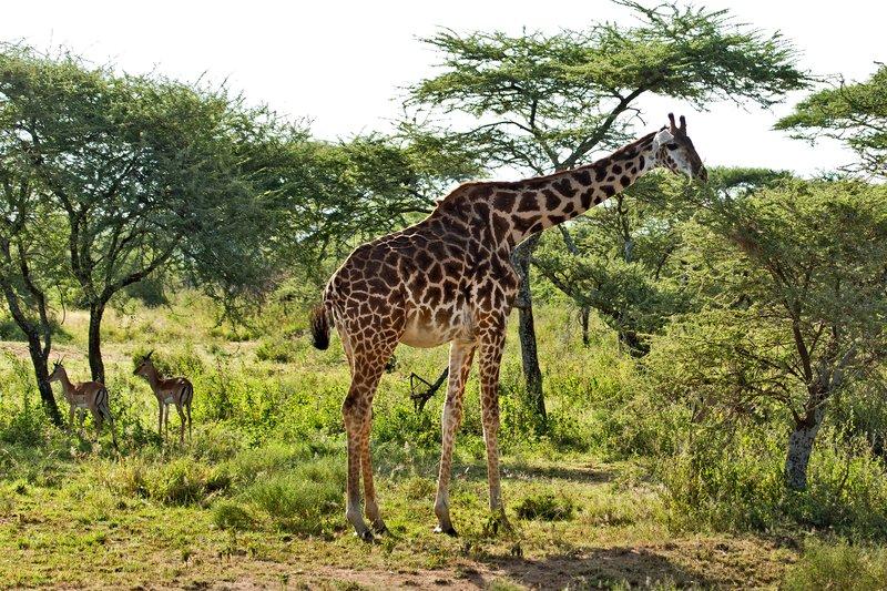 large_Giraffe_11-13.jpg