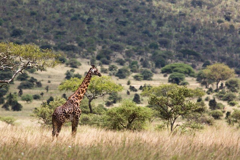 large_Giraffe_11-310.jpg