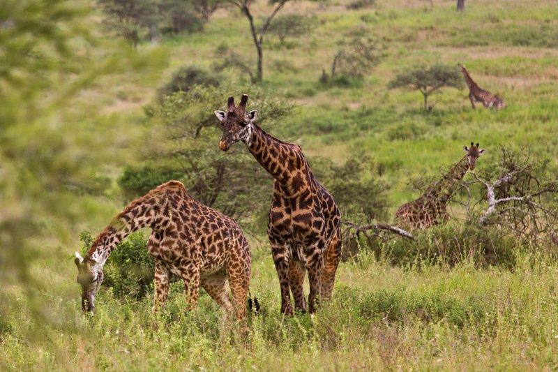 large_Giraffe_11-81.jpg
