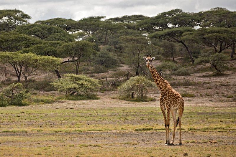 large_Giraffe_11.jpg