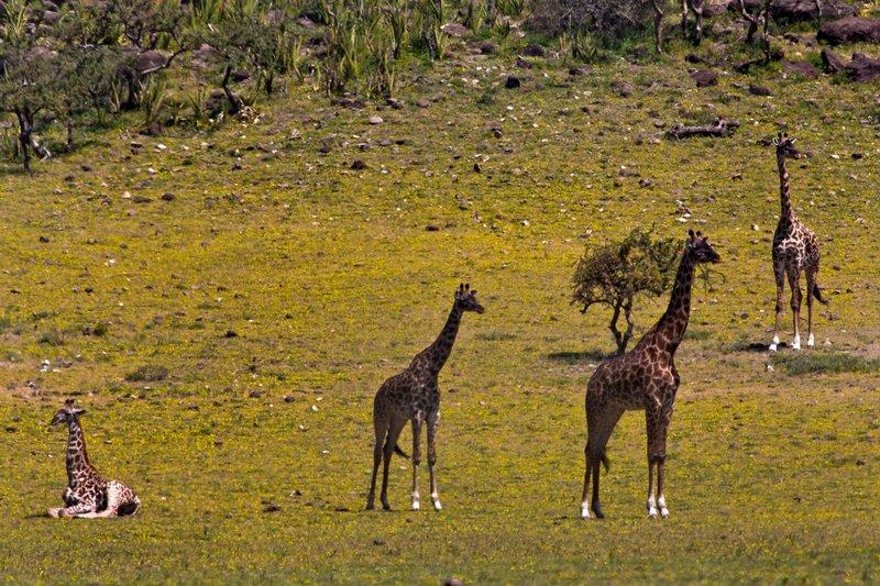 large_Giraffe_12-45.jpg