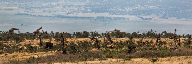 large_Giraffe_12-46.jpg