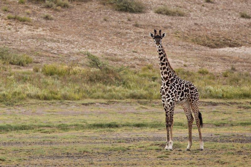 large_Giraffe_12.jpg