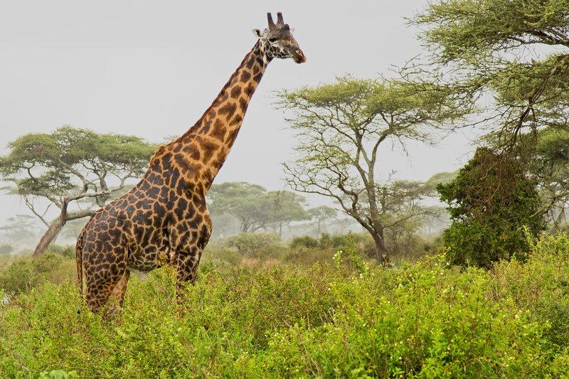large_Giraffe_2.jpg