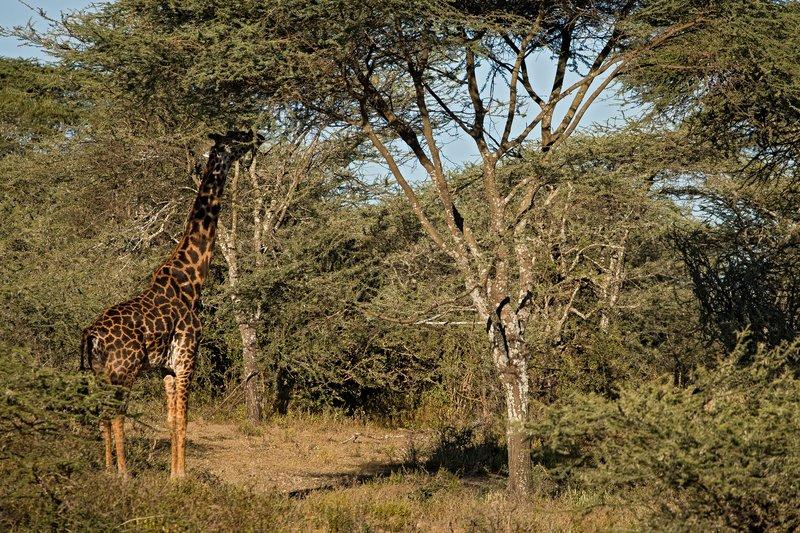 large_Giraffe_21.jpg