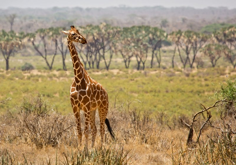 large_Giraffe_31.jpg