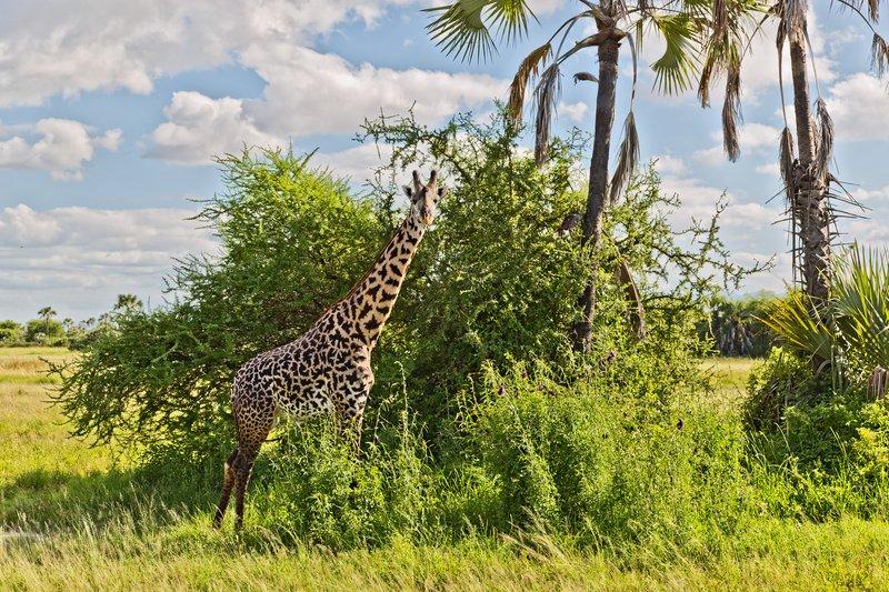 large_Giraffe_4-2.jpg