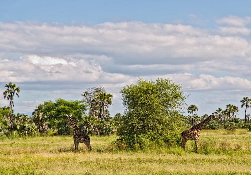 large_Giraffe_4-3.jpg