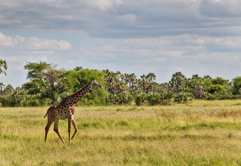 large_Giraffe_4-4.jpg
