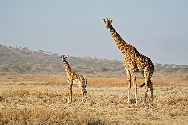 large_Giraffe_42.jpg