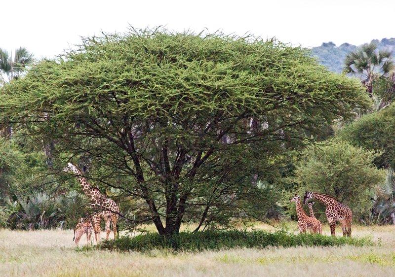 large_Giraffe_5-1.jpg