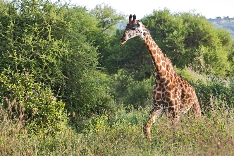large_Giraffe_5-102.jpg