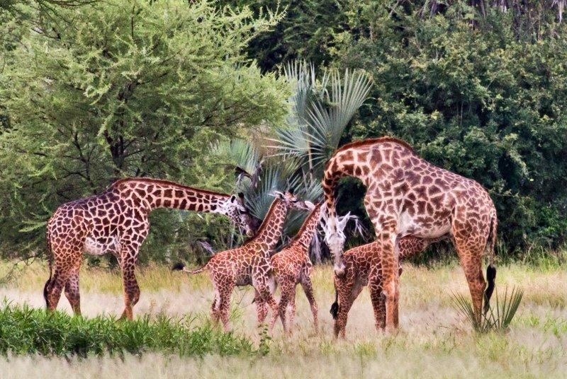 large_Giraffe_5-12.jpg