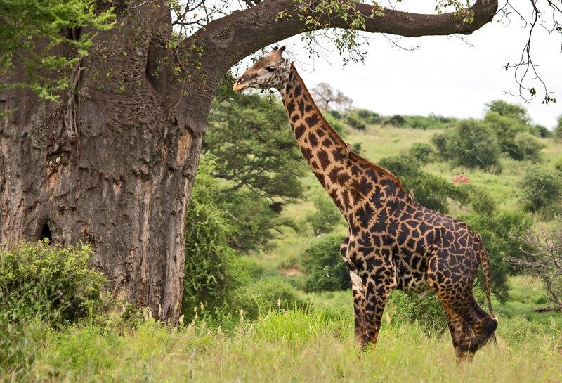 large_Giraffe_5-22.jpg