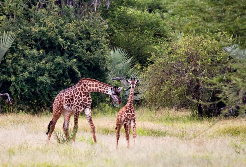 large_Giraffe_5-3.jpg