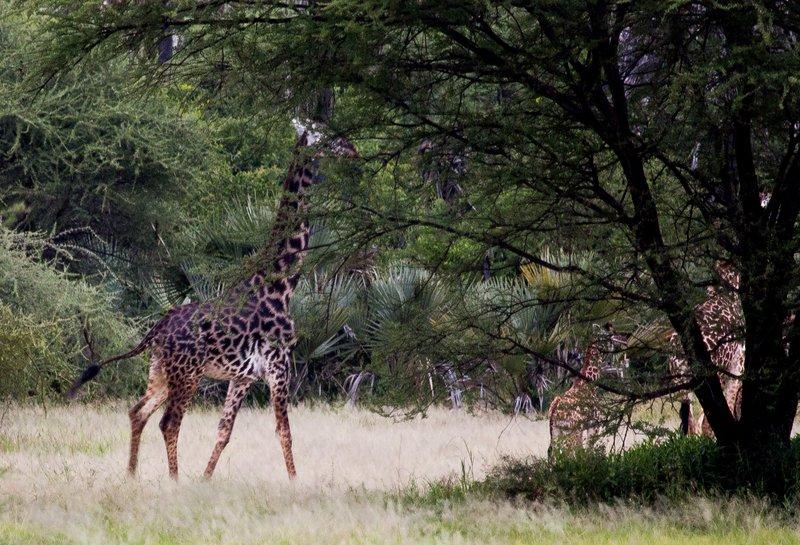 large_Giraffe_5-5.jpg