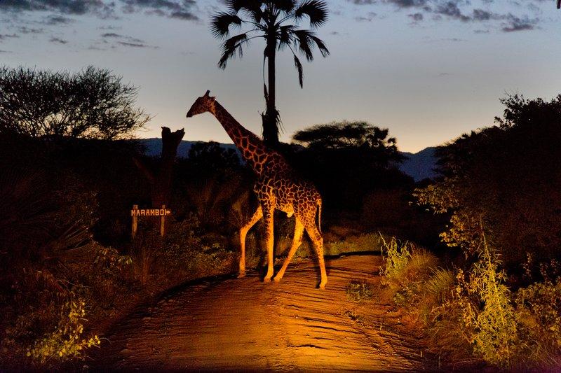 large_Giraffe_5-71.jpg