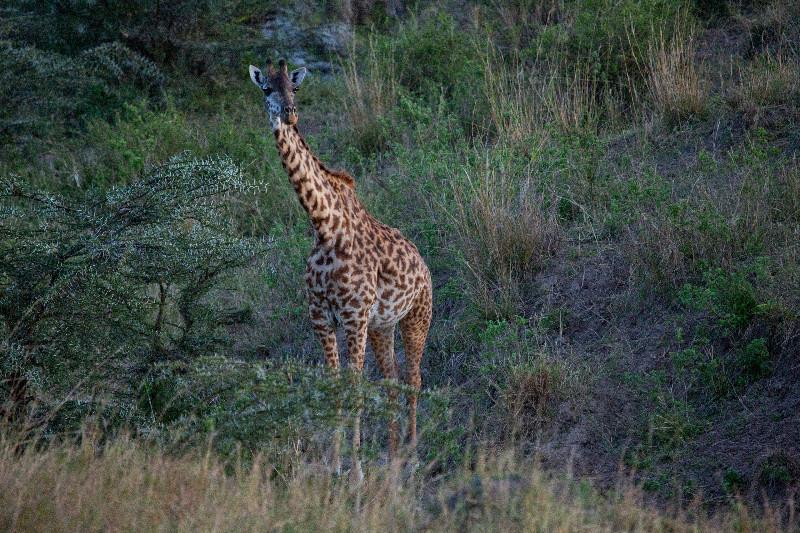 large_Giraffe_51.jpg