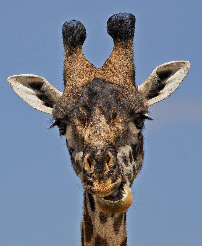 large_Giraffe_57.jpg