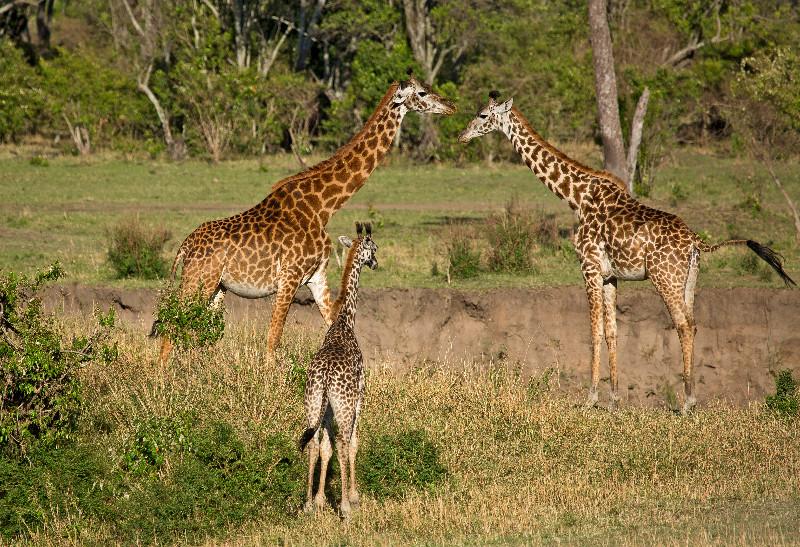 large_Giraffe_61.jpg