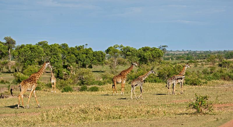 large_Giraffe_63.jpg