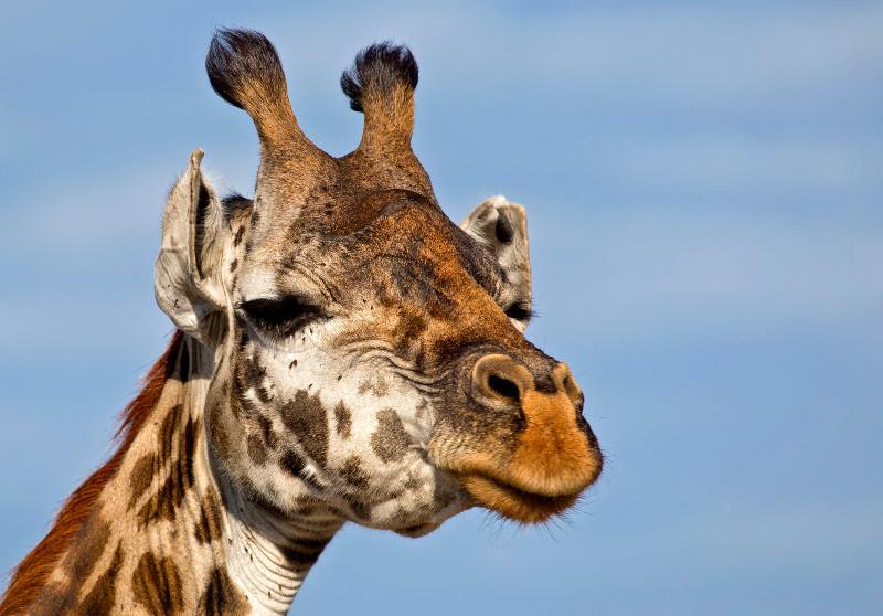 large_Giraffe_64.jpg