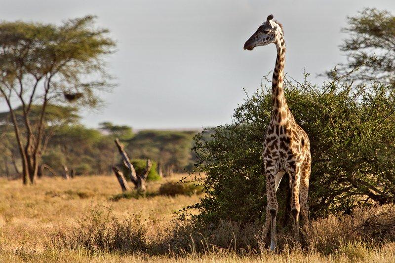 large_Giraffe_8-1.jpg