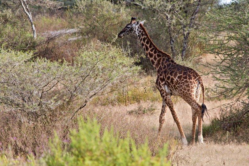 large_Giraffe_8-11.jpg