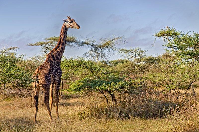 large_Giraffe_9-1.jpg