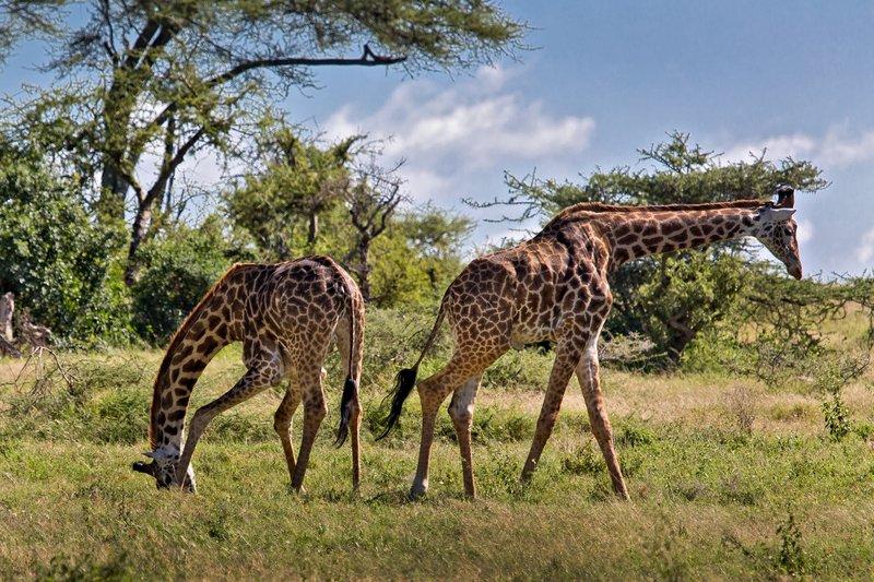 large_Giraffe_9-55.jpg