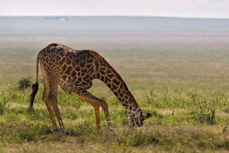large_Giraffe_9-56.jpg