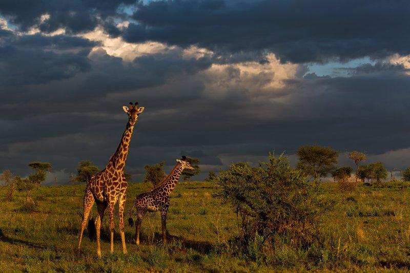 large_Giraffe_9-78.jpg