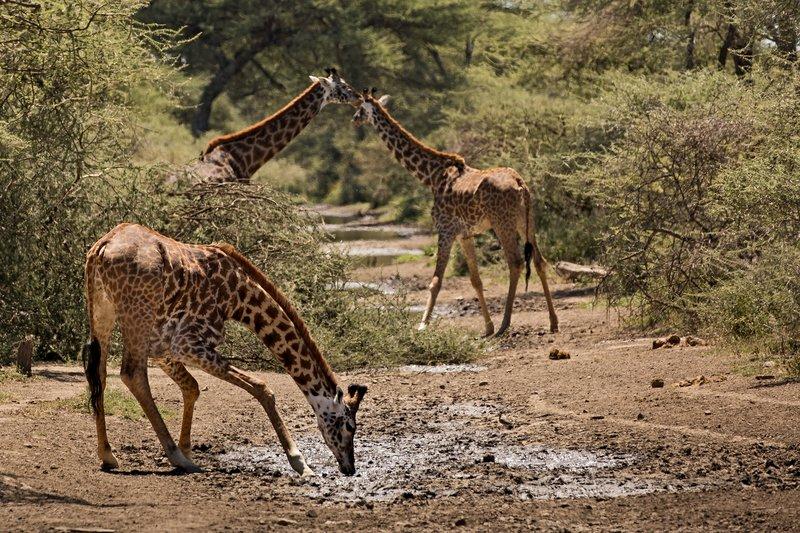 large_Giraffe_Drinking_201.jpg