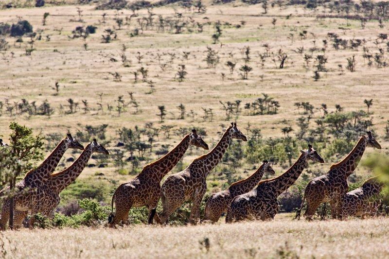large_Giraffe_at_Endoldol_7-19.jpg
