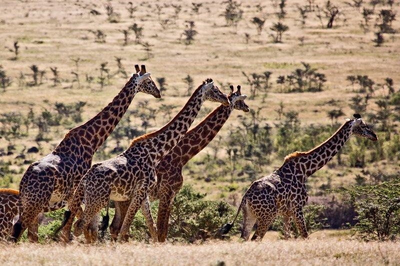 large_Giraffe_at_Endoldol_7-23.jpg