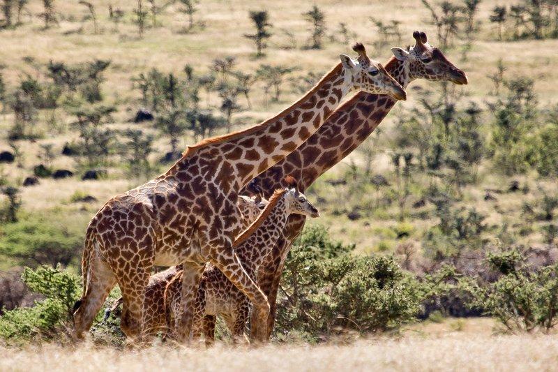 large_Giraffe_at_Endoldol_7-24.jpg