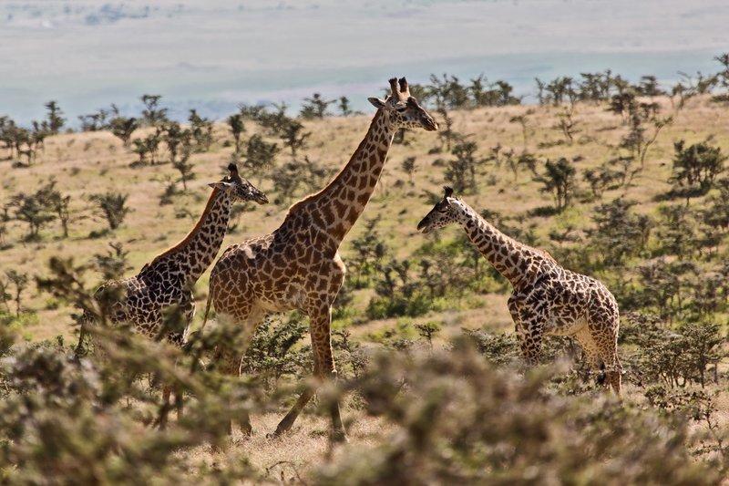 large_Giraffe_at_Endoldol_7-5.jpg