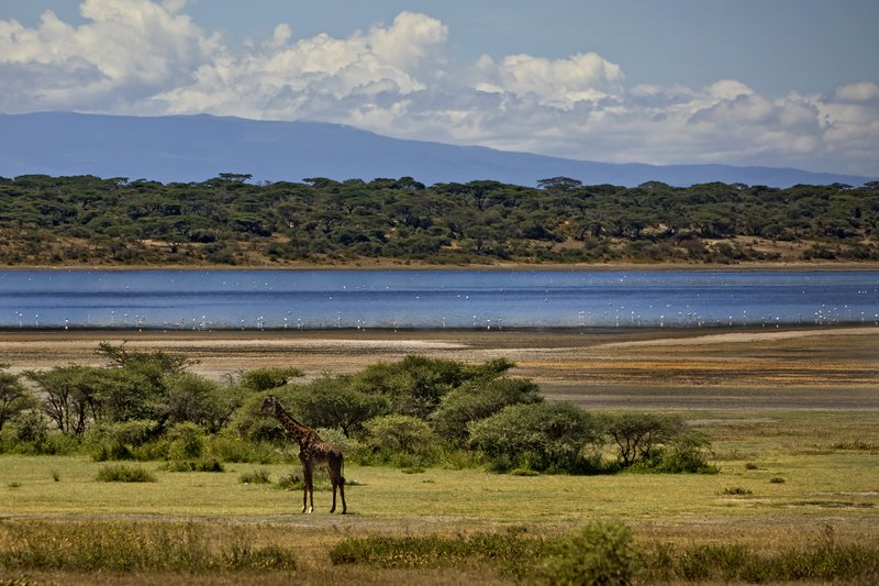 large_Giraffe_at_Lake_Ndutu_21.jpg