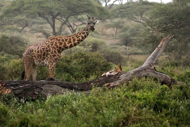 large_Giraffe_in_the_Rain_1.jpg