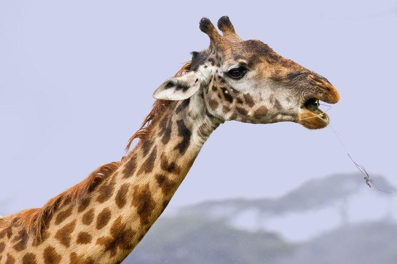 large_Giraffe_in_the_Rain_2.jpg