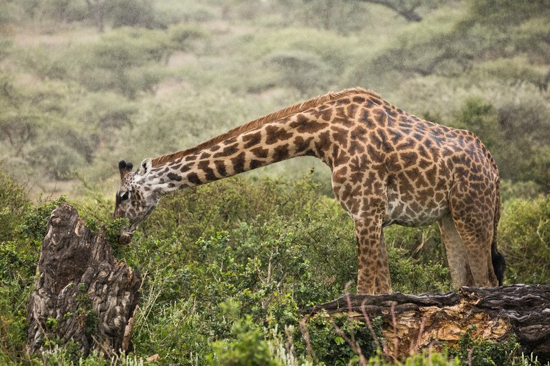 large_Giraffe_in_the_Rain_3.jpg