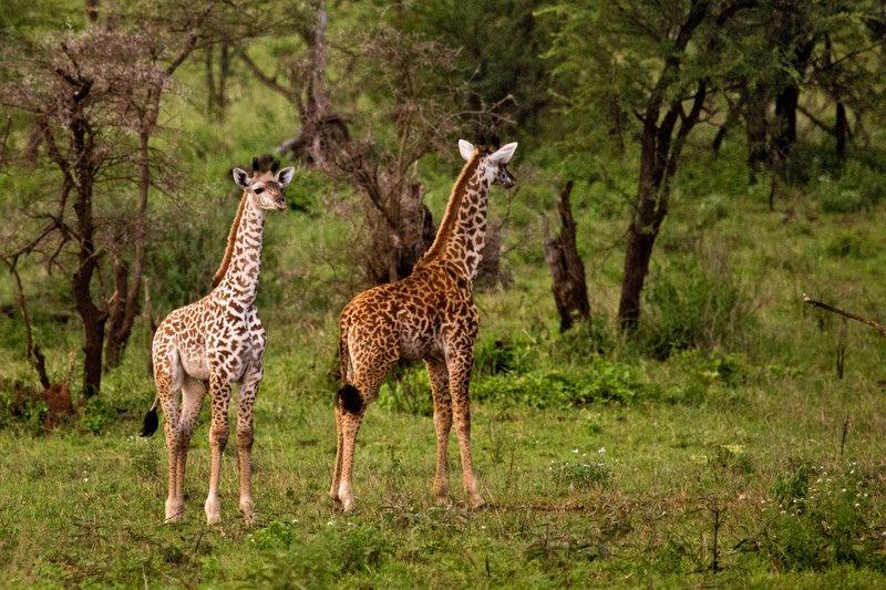 large_Giraffe_with_Leucism_10-1.jpg
