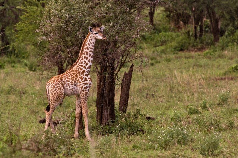 large_Giraffe_with_Leucism_10-2.jpg