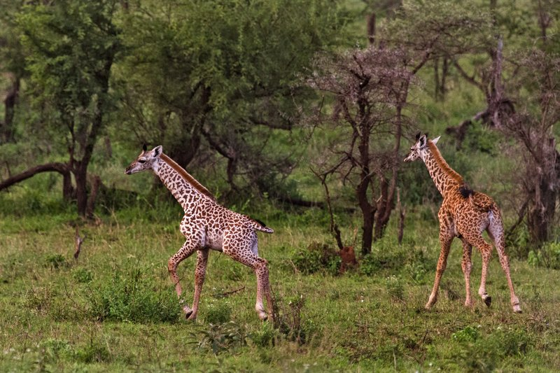 large_Giraffe_with_Leucism_10-3.jpg
