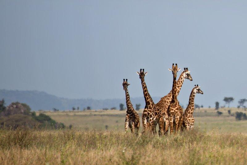 large_Giraffes_11-31.jpg