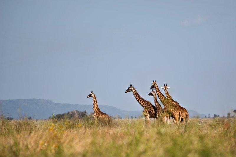 large_Giraffes_11-32.jpg