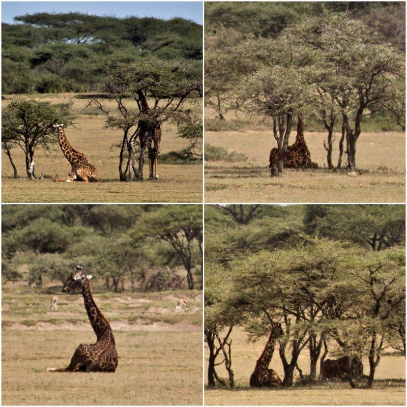large_Giraffes_Combo.jpg